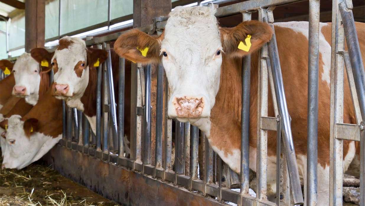 Как сделать сарай для коров